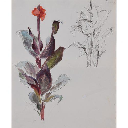 Rosemary Ellis Canna Lily