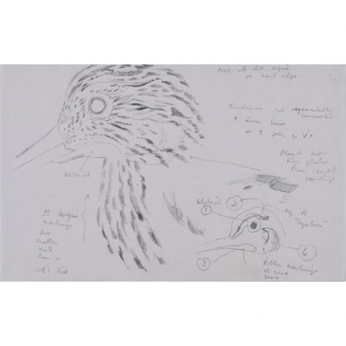 Clifford Ellis Curlew 2 drawing new naturalist